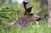 Portrait of White-tailed deer in the grass - Jasper Canada