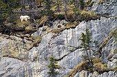 Rocky Mountain goat on cliff - Jasper Canada