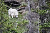 Rocky Mountain goat grazing - Jasper Canada