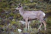 White-tailed deer - Jasper Canada