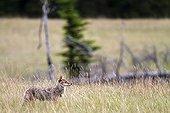 Coyote in grass - Jasper Canada