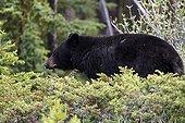 Black Bear in the woods - Jasper Canada