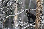 Young Black Bear in the woods - Jasper Canada