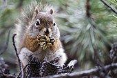 American Red Squirrel eating cones - Jasper Canada