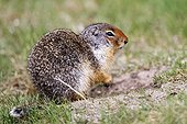Columbian ground squirrel on grass - Banff Canada