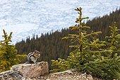 Golden-mantled ground squirrel on rock - Banff Canada