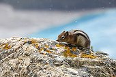 Golden-mantled ground squirrel on rock - Banff Canada
