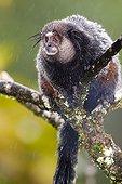 Kuhl's Marmoset under the rain - Atlantic Forest Brazil