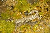 Pyrenean brook salamander on bank - Ordesa Spain