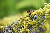 California Newt on moss - Exchamsiks river Canada