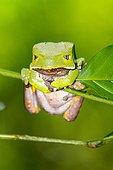 Giant Monkey Frog on stem - Atlantic Forest Brazil