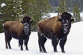 American Bisons in the snow - Yellowstone USA