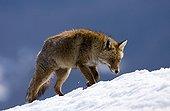 Renard roux marchant dans la neige - Ordesa Espagne