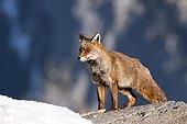 Red fox on a rock in winter - Ordesa Spain