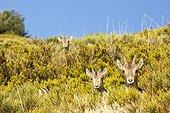 Spanish ibex on bush - Guadarrama Spain