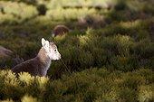 Young Spanish ibex on bush - Guadarrama Spain