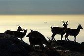 Spanish Ibex at dusk - Guadarrama Spain