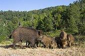 Family of Wild Boars - Sierra de Cazorla Spain