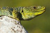Portrait of male Ocellated lizard on a rock - Aragon Spain