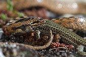 Coronelle Gironde eating a lizard - Aragon Spain