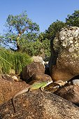 Schreiber's Green Lizard on rock - Valley of the Jerte Spain