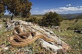 Ladder Snake on rock - Castile-La Mancha Spain