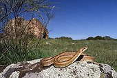 Ladder Snake on rock -  Sierra Madrona Spain