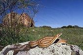 Ladder Snake on rock -  Sierra Madrona Spain
