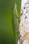 Spotted Anole on a trunk - Atlantic Forest Brazil