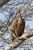 Vautour Africain sur une branche - Kruger Afrique du Sud
