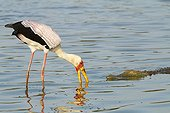 Yellow-billed Stork and Crocodile - Kruger South Africa