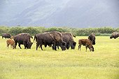 Wood bisons and calves grazing -  Alaska USA ; Alaska Wildlife Conservation Center - AWCC