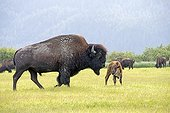 Wood bison and calf in grass -  Alaska USA ; Alaska Wildlife Conservation Center - AWCC