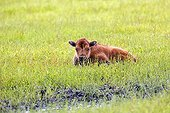 Wood bison calf lying in grass - Alaska USA ; Alaska Wildlife Conservation Center - AWCC