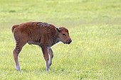 Wood bison calf standing in grass - Alaska USA ; Alaska Wildlife Conservation Center - AWCC