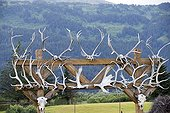 Elk Wapitis and Muskox antlers on gate - Alaska USA  ; Alaska Wildlife Conservation Center - AWCC