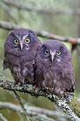 Young Tengmalm's Owls on a branch in forest - Finland  ; just after they left the nest