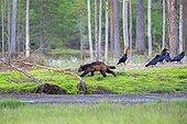 Wolverine and Ravens in undergrowth - Finland