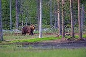 Brown bear in the undergrowth - Finland