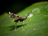 Long-horned Moth on a leaf - Gunung Mulu Borneo Malaysia