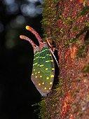 Lantern bug on bark - Gunung Mulu Borneo Malaysia