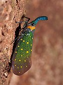 Lantern bug on bark - Kinabatangan Borneo Malaysia