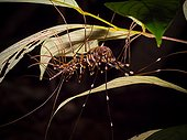 Long legged centipede on leaf - Bako Borneo Malaysia