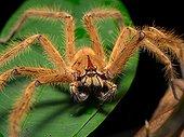 Huntsman spider on leaf - Gunung Mulu  Borneo Malaysia