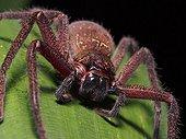 Huntsman spider on leaf - Tawau Hills Borneo Malaysia