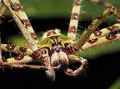 Portrait of Huntsman spider - Tawau Hills Borneo Malaysia