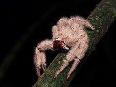 Furry Hunstman on a branch - Tawau Hills Borneo Malaysia