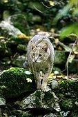 Chat des marais ou chat Chauss