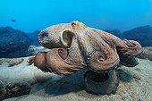 Common Octopus - Fuerteventura Canary Islands
