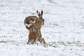 Brown Hares boxing in a meadow covered by snow - GB